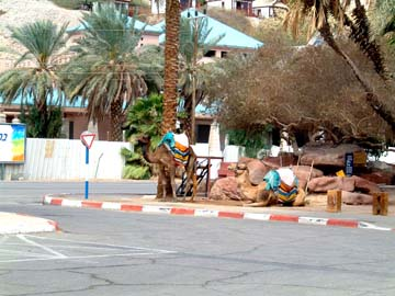 camels waiting to give rides